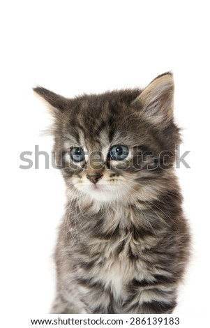 Cute fluffy baby tabby kitten sitting and isolated on white background