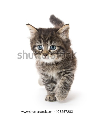 Cute fluffy baby tabby kitten walking with tail in the air isolated on white background