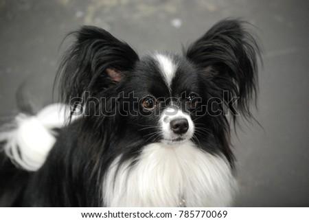Simple Papillon Canine Adorable Dog - stock-photo-cute-fluffy-black-and-white-papillon-dog-785770069  Photograph_358568  .jpg