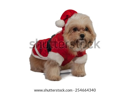 cute fluffy dog dress in santa claus isolated in white background with clipping path - stock photo