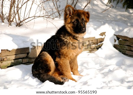 Cute fluffy German Shepherd puppy, 5 months old, sitting on the snow. - stock photo
