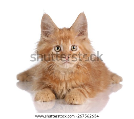 Cute fluffy ginger kitten lying on a white background, looking directly - stock photo