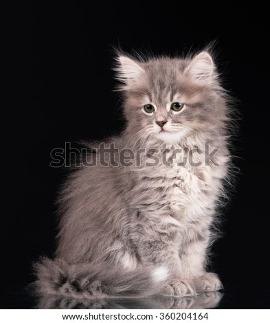 Cute fluffy grey kitten over black background - stock photo