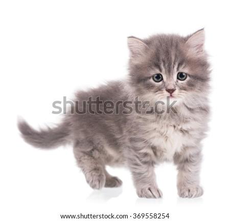 Cute fluffy grey kitten over white background - stock photo