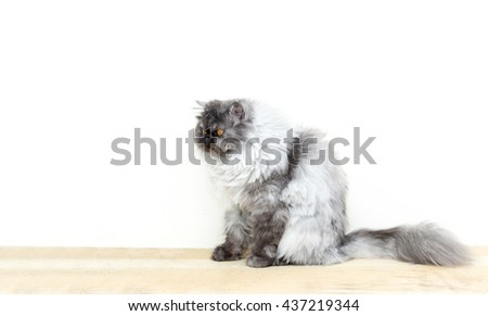 cute fluffy kitten, beautiful Persian grey cat, exotic cat resting on a wooden table, free copy space on left hand side - stock photo