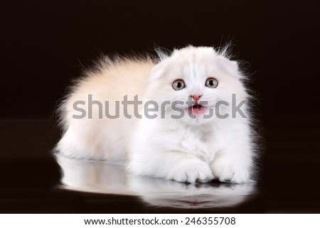 Cute fluffy kitten Scottish breed sizzles - stock photo
