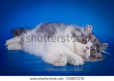 cute fluffy kitten, striped, thick, beautiful Persian cat, exotic cat - stock photo