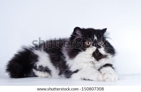 cute fluffy kitten, striped, thick, beautiful Persian cat, exotic cat - stock photo