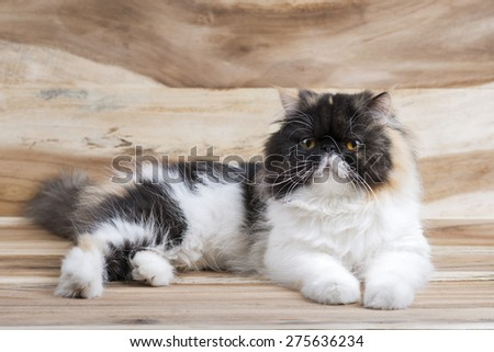 cute fluffy kitten, striped, thick, beautiful Persian cat, exotic cat On a wooden table - stock photo