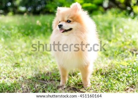 cute fluffy Pomeranian dog in a spring park  - stock photo