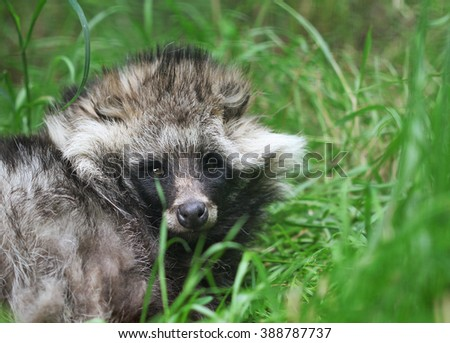 Cute fluffy raccoon dog sitting in the green grass