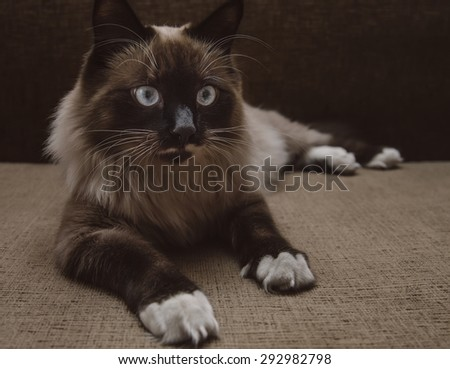 Cute fluffy Siamese cat lying on sofa indoor - stock photo