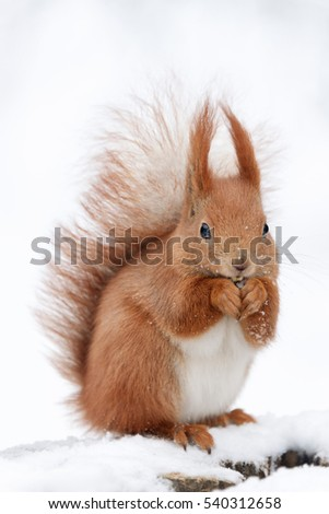 Cute fluffy squirrel eating nuts on a white snow in the winter forest.