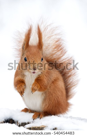 Cute fluffy squirrel on a white snow in the winter forest.