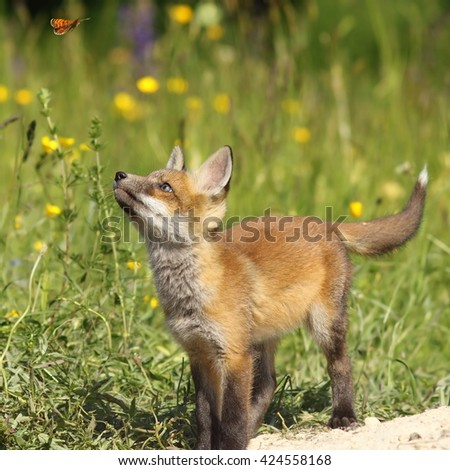 cute fox puppy looking after butterfly ( Vulpes vulpes, wild animal ) - stock photo