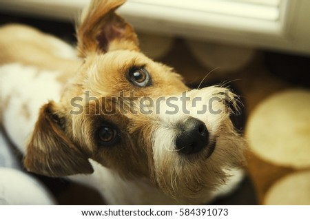 cute fox terrier on balcony looking up with gazing eyes
