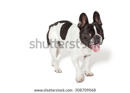 Cute french bulldog photographed in a studio with white background - stock photo