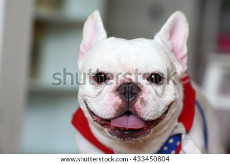 Cute French Bulldog portrait indoor - front view - stock photo