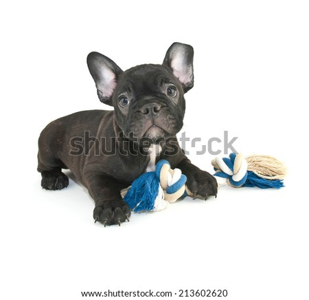 Cute French Bulldog puppy laying with his dog toy on a white background. - stock photo
