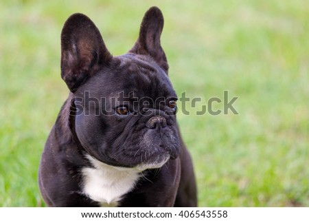 Cute french bulldog puppy standing in the garden, looking serious.
