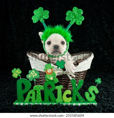 Cute french bulldog wearing a shamrock headband sitting in a basket with a St Patrick's Day sign in front of him.