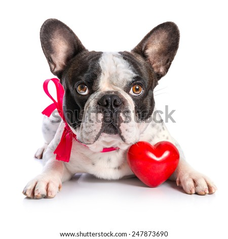 Cute french bulldog with a red heart isolated on white - stock photo