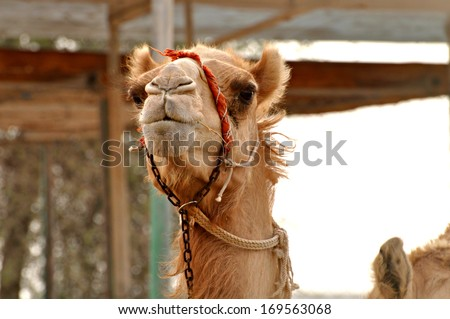 Cute funny camel in a desert - stock photo