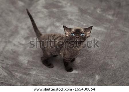 Cute funny devon rex kitten baby - stock photo