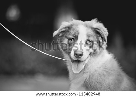 cute funny puppy Australian Shepherd portrait black and white - stock photo