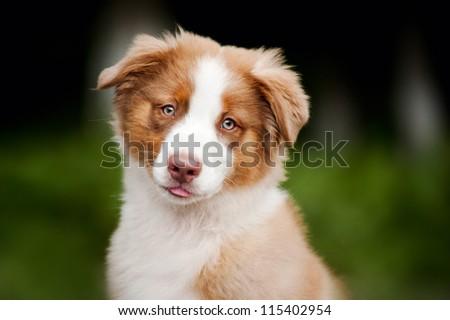 cute funny puppy Australian Shepherd portrait in summer - stock photo