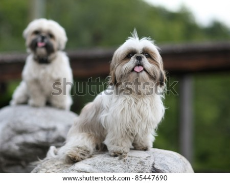 Cute funny shih tzu breed dog outdoors barking - stock photo