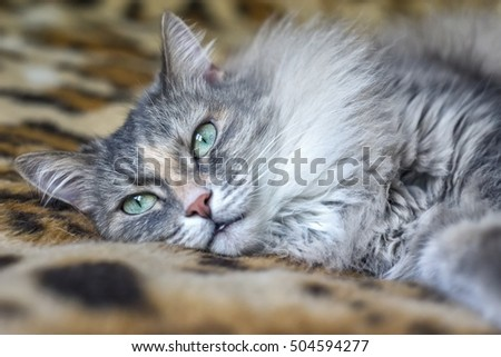cute funny siberian gray cat with greeen eyes Relaxing, lying on the plaid, domestic cat, resting, elegant cat