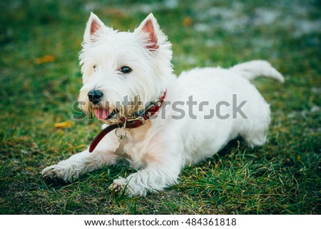 Cute Funny West Highland White Terrier - Westie, Westy Dog Play in Grass
