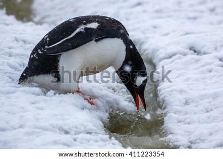 Cute gentoo penguin drinks water in Antarctica - stock photo
