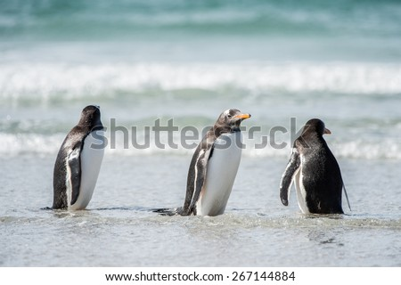 Cute gentoo penguin playing in the water