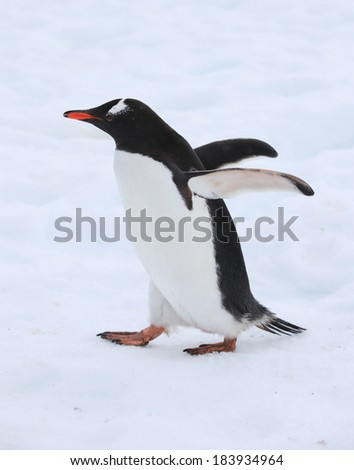 Cute Gentoo penguin walking on snow in Antarctica