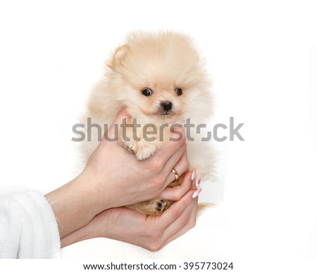 Cute German Spitz miniature and hands isolated on white background