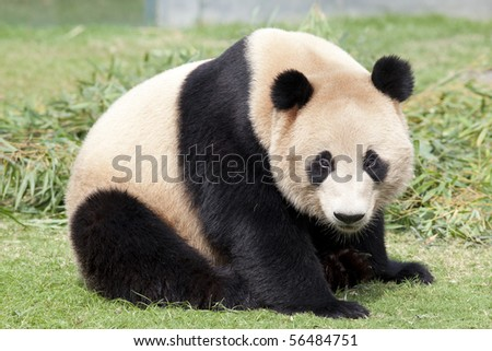 Cute giant panda - stock photo