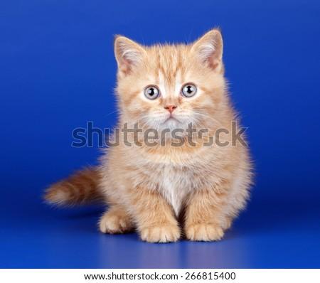 Cute ginger kitten on blue background - stock photo