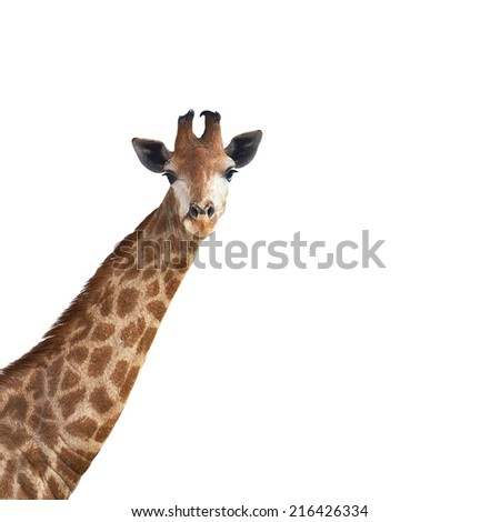 cute giraffe on white background - stock photo