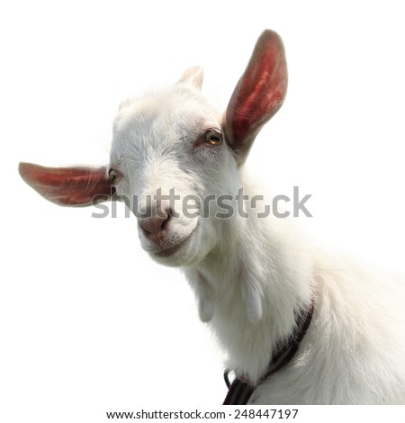 Cute goat kid isolated on a white