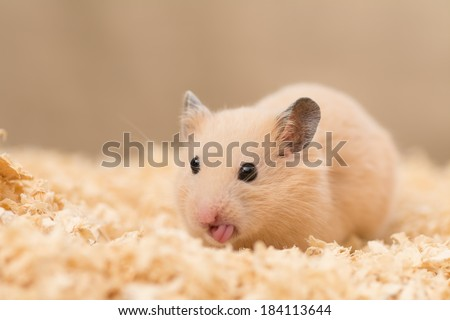 Cute Golden Hamster (Syrian Hamster) on wood chips - stock photo