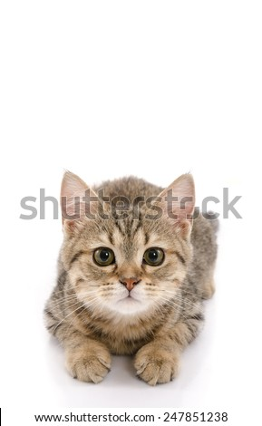 Cute golden kitten laying and looking on white background isolated