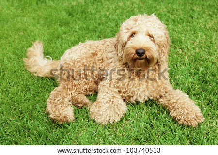 Cute golden labradoodle laying in lush grass