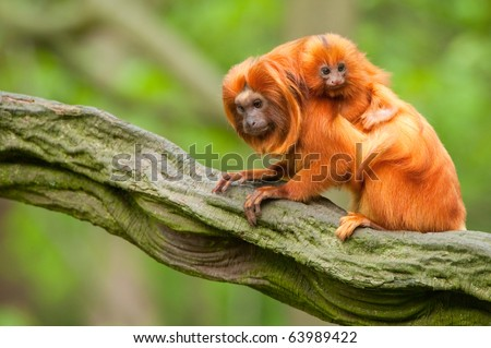 cute golden lion tamarin with baby (Leontopithecus rosalia) - stock photo