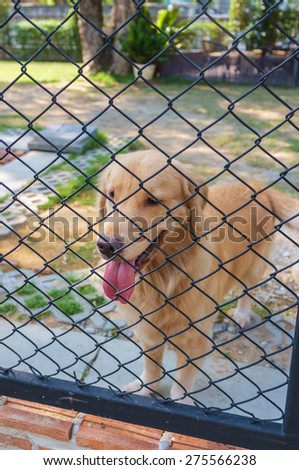 cute golden retriever confine in cage - stock photo