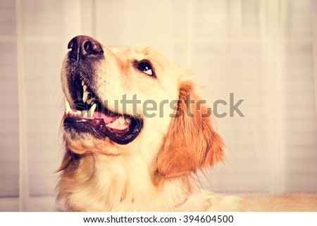Cute golden retriever dog waiting for a snack. - stock photo