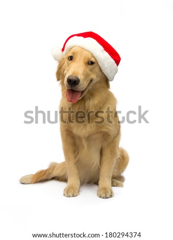 cute golden retriever in santa hat isolated in white background with clipping path