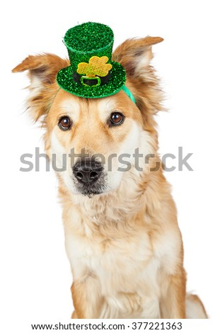 Cute Golden Retriever mixed breed dog wearing a festive green St. Patrick's Day hat with clover