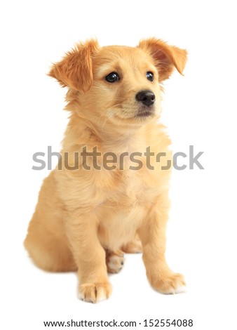 Cute golden retriever mixed-breed puppy isolated on white - stock photo